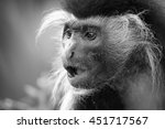 Portrait of a colobus monkey with mouth open and fangs, black and white photo