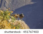 Young Condor Chicks On The...