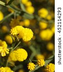 Small photo of Acacia or Wattle. Australian Native Plant flowering in spring in Western Australia Acacia alata also known as Winged Wattle
