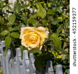 Small photo of A fragrant romantic beautiful yellow rose blooming in early winter after a shower of rain adds fragrance and beauty to the drab garden landscape.