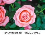 Stock photo pink rose in the garden 452224963