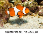 Clownfish in Aquarium - stock photo