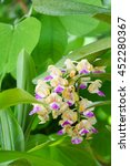 Small photo of Aerides falcata, orchid