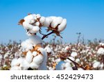 branch of ripe cotton on the... | Shutterstock . vector #452429473