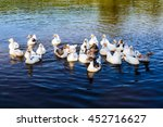 Waterfowl   Geese Swimming In...