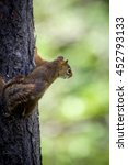 Small photo of American red squirrel climbing a tree looking off to the right