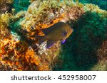 Small photo of Blue-fin damselfish (Abudefduf luridus) Pico Island, Azores Archipelago.