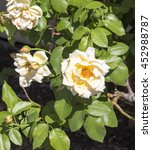 Small photo of A fragrant romantic beautiful pale yellow fully blown rose blooming in winter adds fragrance and beauty to the drab garden landscape.