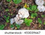 Mushroom Clitocybe Nebularis I...