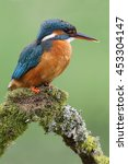 Small photo of Wild Common Kingfisher (Alcedo atthis) head portrait with green background