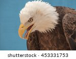 American Bald Eagle Looking Down