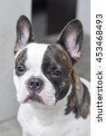 Small photo of absent-minded French bulldog or white French bulldog