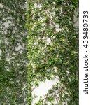 Leaves Climb On A White Pillar