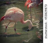 Group Of Pink Chilean Flamingo...