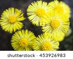 Yellow Coltsfoot Flowers ...