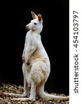 Small photo of portrait of a white albino wallaby kangaroo( Macropus rufogriseus rufogriseus ) in black background.