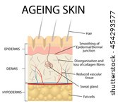 old skin anatomy characterized... | Shutterstock .eps vector #454293577