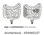 Large And Small Intestines...