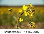 Canola Flower  Rape Crop ...
