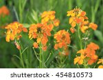 Small photo of Aegean wallflower, common wallflower, Erysimum cheiri