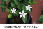 Four White Gardenia Flowers...