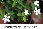 Four White Gardenia Pitchaya...