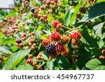 blackberries on a bush in a...   Shutterstock . vector #454967737