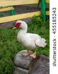 White Muscovy Duck In The Gras...