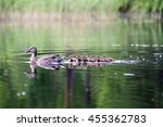 Duck With The Ducklings First...