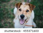 Portrait Of A Cute Fox Terrier