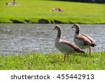 couple of egyptian geese | Shutterstock . vector #455442913