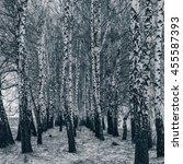 Birch Grove In The Snow