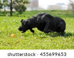 Black Dog Labrador Retriever...