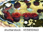 Small photo of Bright red Waratah Sea anemones (Actinia tenebrosa) in a rock pool on the New South Wales coast, Australia