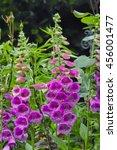 Pink Common Purple Foxglove ...
