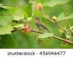 Small photo of Beautiful Male of Crimson Sunbird ( Aethopyga siparaja )