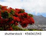 Blooming Flamboyant Tree Or...