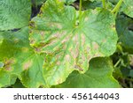 Small photo of affected by diseases and pests of plant leaves and fruits of cucumber