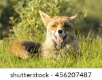 cute smiling red fox lying on... | Shutterstock . vector #456207487