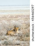 Small photo of Lioness in an ambush lying in the bush. Etosha national park in Namibia, Africa