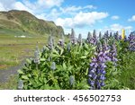 iceland lupine  | Shutterstock . vector #456502753