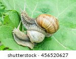 Burgundy Snails In The Garden...