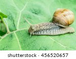 Burgundy Snail In The Garden O...