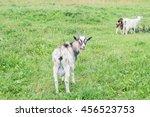 Yang Friendly Gray Goat Grazin...