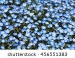 Carpet Of Nemophila  Or Baby...