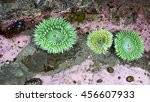 Several Giant Green Anemone ...