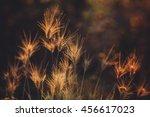 Summer Grass   Timothy Grass O...