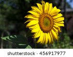 Large Blooming Sunflower Grown...