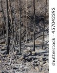 Small photo of Burned trees following a forest fire in Solea area in Troodos mountains in Cyprus.The June 2016 fire has been an ecological disaster.
