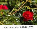 Closeup Of Bright Red Rose In...